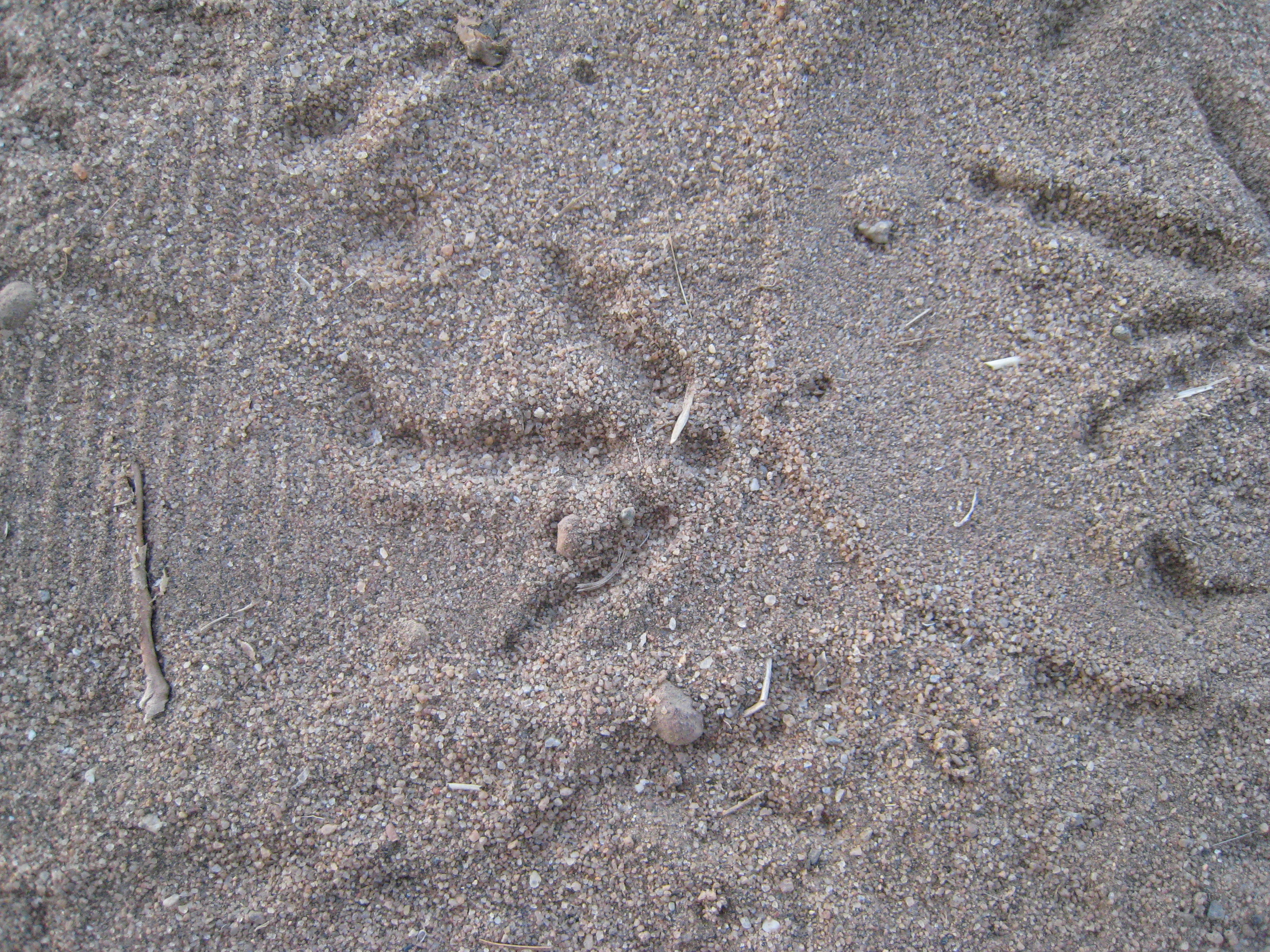 wren footprint